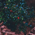 Dark green holly with small red berries above brown evergreen twigs