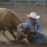 cowboy in blue shirt white hat wrestling steer at rodeo