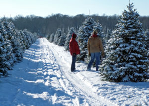 christmas tree farm with rows of snow covered trees, path in center, two people looking at a tree on the right
