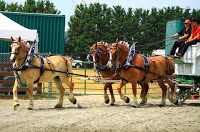 team of one light brown horse, two dark brown ones harnessed to wagon in front of white tent, green trees