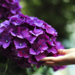hand under purple hydrangea blossoms Photo by Gaetano Cessati on UnSplash