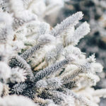 closeup of cluster of white ice-covered evergreen branches on tree