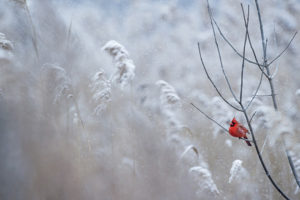 Ray Hennessy –cardinal on tree branch in snow –Unsplash- 1480775292373-5175d0634811