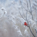 closeup of red cardinal perched on bare tree branches surrounded by snow