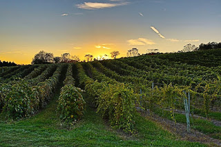 Vineyard with rows of green vines stretching back to horizon against yellow sunset, blue sky