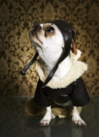 white bulldog looking upward and wearing fur collared black leather jacket and aviator had