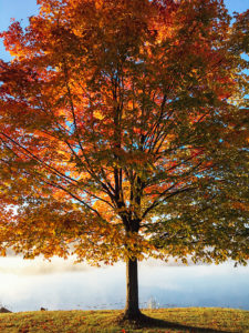 autumn tree with dark brown trunk and branches, reddish orange leaves against light blue sky