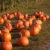 About 40 orange pumpkins lying in green field with lower portions of corn stalks in backgound