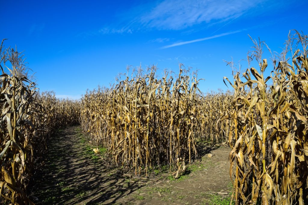decision point at two paths through dried brown corn maze