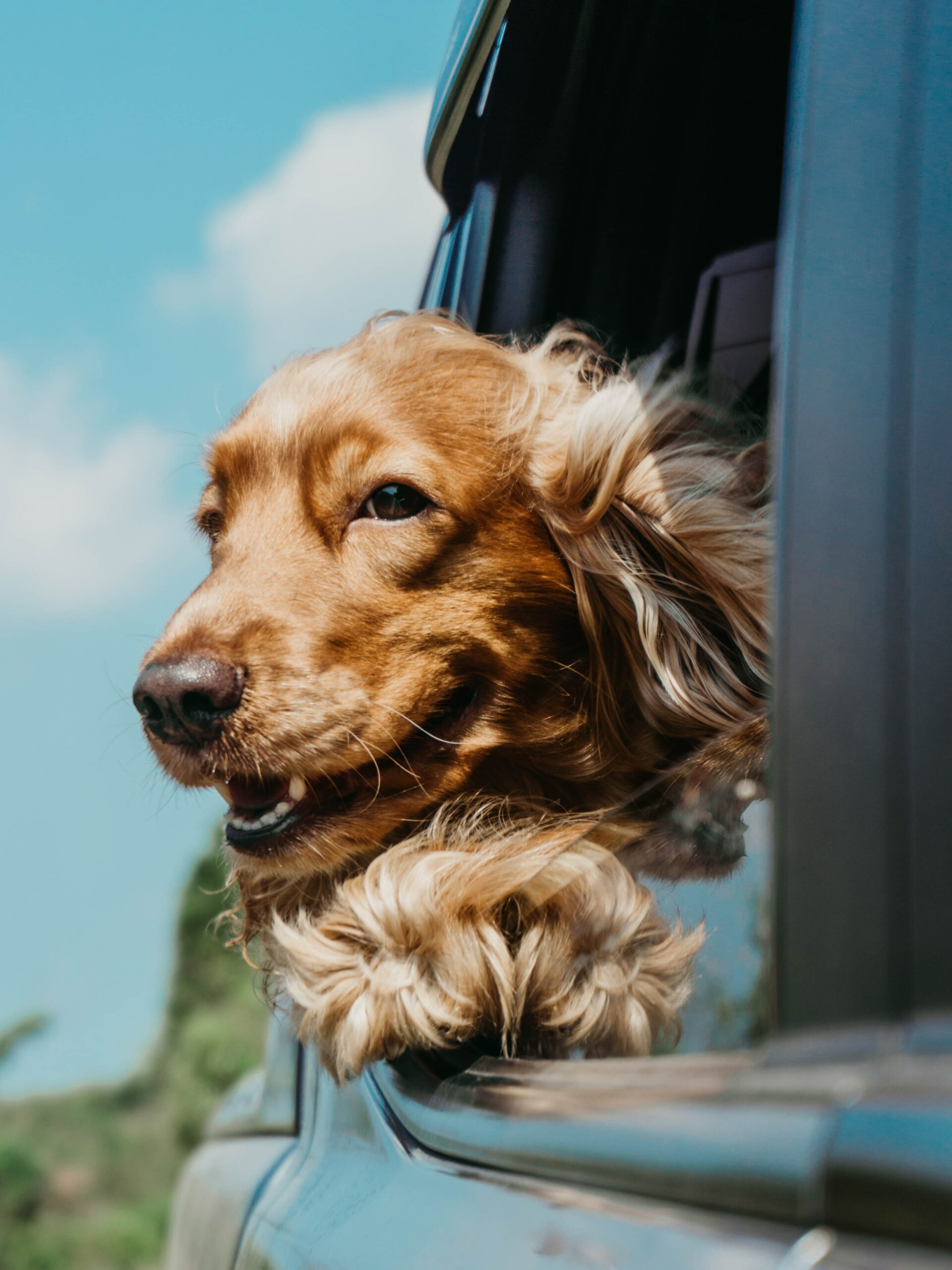 A golden retriever with his head and paw out the window of a vehicle with the wind blowing through its fur.