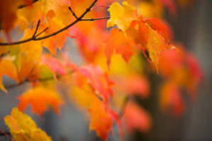 orange and gold fall leaves hanging on branches with most leaves softly blurred out of focus