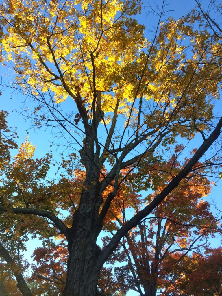 closeup of gold and orange foliage on dark tree branches against blue sky