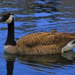 Goose with black and white head and neck swimming on bluewater