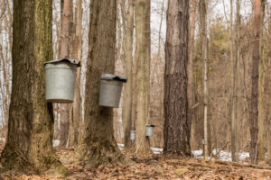 two sap buckets hanging on brown trunks of two maple trees in sugarbush