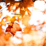 Closeup of orange fall leaves on tree with blurred leaves in background against pale sky