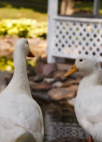 close up of back of two ducks side by side on edge of pond