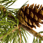 closeup of brown pine cone on branch of pine tree