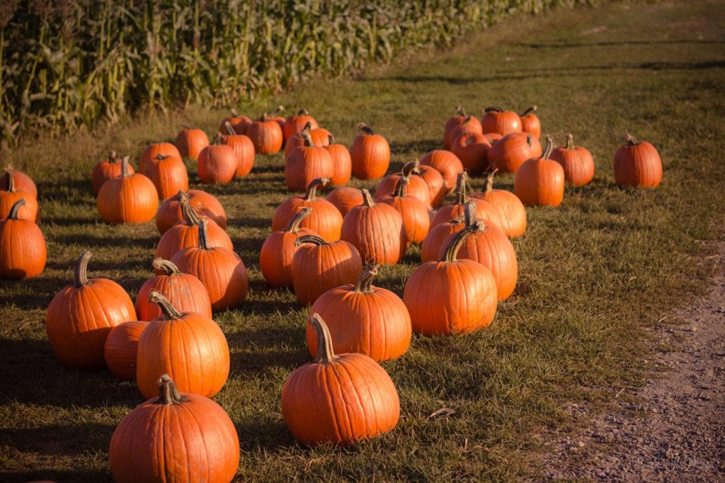field of orange pumpkins with brown corn field in background